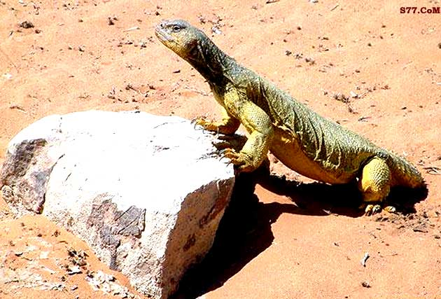 Sunnah of the Dhab Lizard Delicacy | MuslimMatters org