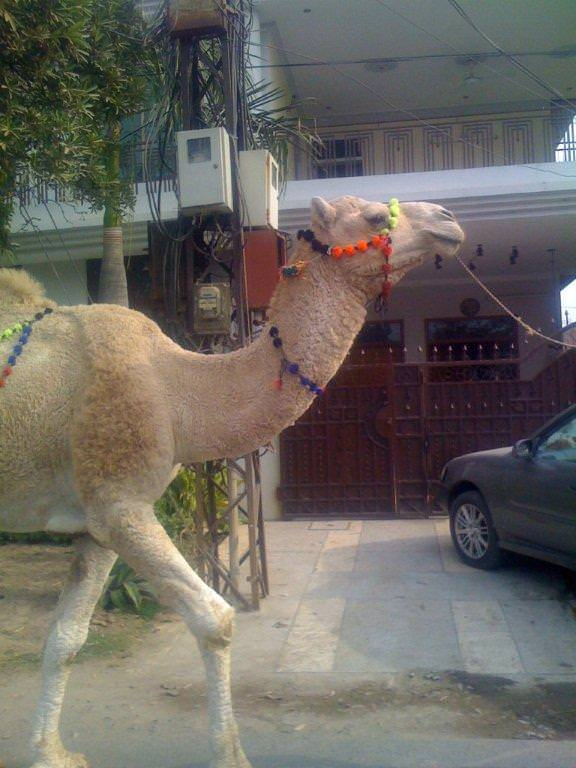http://muslimmatters.org/wp-content/uploads/2009/11/amad_camel.jpg