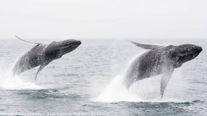 Humpback whales breaching