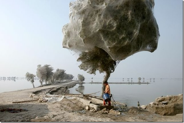 Spider web coccooned trees in Sindh