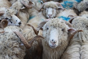 Sheep for Qurbani
